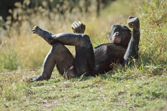 bonobo02